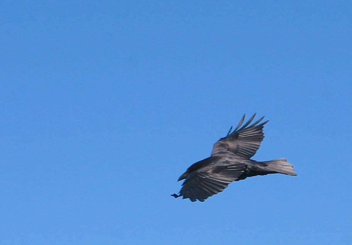 Raven-TkPvPt.jpg