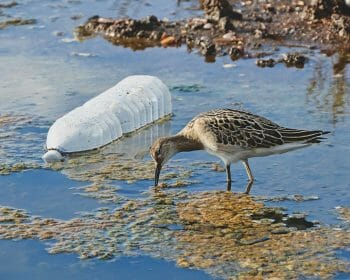 Small bird drinking water in a polluted water source. A plastic bottle floats by the bird.