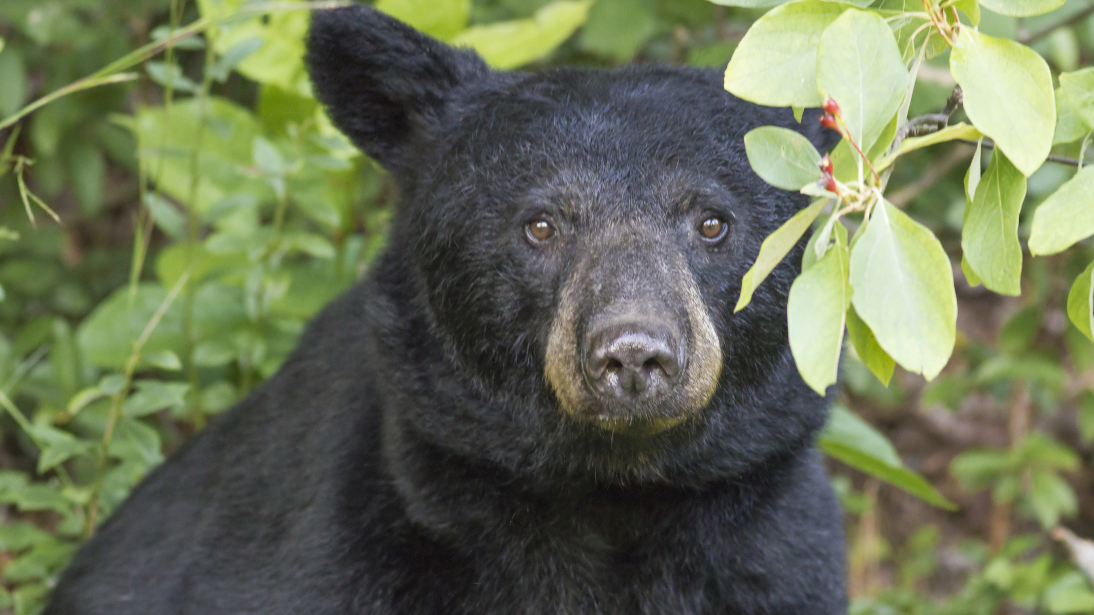 A black bear looking at the camera in the woods